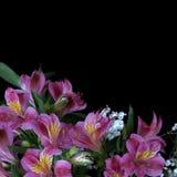 Λουλούδια Alstroemeria Στοκ Φωτογραφίες