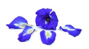 Λουλούδια Anchan Στοκ Εικόνα