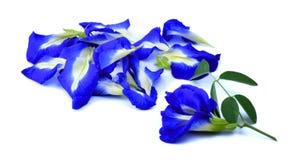 Λουλούδια Anchan Στοκ Φωτογραφίες