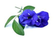 Λουλούδια Anchan Στοκ Εικόνες