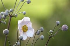 Λουλούδια Anemon Στοκ εικόνες με δικαίωμα ελεύθερης χρήσης