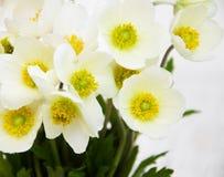 Λουλούδια Anemone άνοιξη Στοκ εικόνα με δικαίωμα ελεύθερης χρήσης