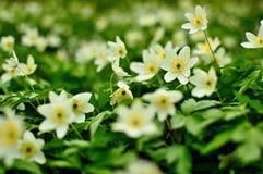 Λουλούδια Anemone άνοιξη Στοκ εικόνες με δικαίωμα ελεύθερης χρήσης