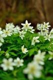 Λουλούδια Anemone άνοιξη Στοκ Φωτογραφία
