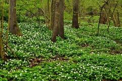 Λουλούδια Anemone άνοιξη Στοκ Φωτογραφίες