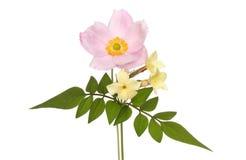 Λουλούδια Anemone και jasmine Στοκ φωτογραφία με δικαίωμα ελεύθερης χρήσης
