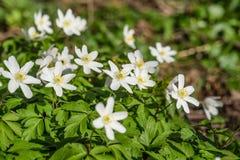 Λουλούδια Anemone σε ένα δάσος Στοκ Φωτογραφίες