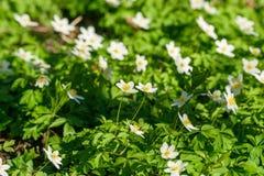 Λουλούδια Anemone σε ένα πράσινο λιβάδι Στοκ Εικόνες