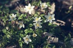Λουλούδια Anemone στην άνοιξη Στοκ εικόνα με δικαίωμα ελεύθερης χρήσης