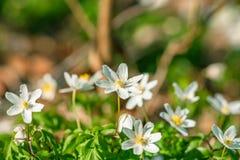 Λουλούδια Anemone στην προοπτική Στοκ Φωτογραφίες