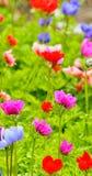 Λουλούδια Anemone στον τομέα Στοκ φωτογραφία με δικαίωμα ελεύθερης χρήσης