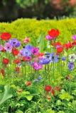 Λουλούδια Anemone στον τομέα Στοκ Εικόνες