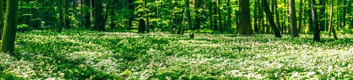 Λουλούδια Anemone στο δασικό πάτωμα Στοκ φωτογραφία με δικαίωμα ελεύθερης χρήσης