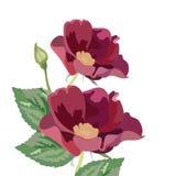 Λουλούδια Anemone στο λευκό ελεύθερη απεικόνιση δικαιώματος