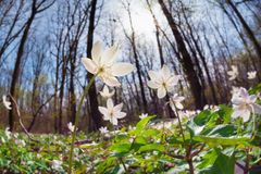 Λουλούδια Anemone στο ηλιόλουστο δάσος Στοκ εικόνα με δικαίωμα ελεύθερης χρήσης