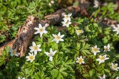 Λουλούδια Anemone στο φως της ημέρας Στοκ φωτογραφίες με δικαίωμα ελεύθερης χρήσης