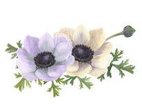 Λουλούδια anemone Watercolor Συρμένη χέρι floral απεικόνιση με το άσπρο υπόβαθρο Στοκ Φωτογραφία