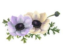 Λουλούδια anemone Watercolor Συρμένη χέρι floral απεικόνιση με το άσπρο υπόβαθρο Βοτανική απεικόνιση Στοκ Εικόνες