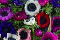 Λουλούδια Anemones στο υπόβαθρο πετρών Στοκ Φωτογραφίες