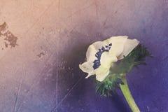 Λουλούδια Anemones στο υπόβαθρο πετρών Στοκ Φωτογραφία