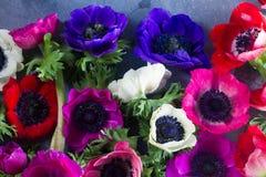 Λουλούδια Anemones στο υπόβαθρο πετρών Στοκ εικόνα με δικαίωμα ελεύθερης χρήσης