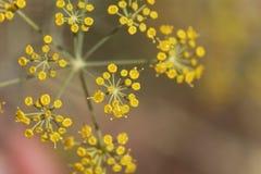 Λουλούδια Anethum άνηθου graveolens Στοκ Εικόνες