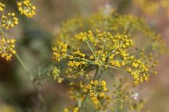 Λουλούδια Anethum άνηθου graveolens Στοκ φωτογραφία με δικαίωμα ελεύθερης χρήσης