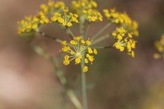 Λουλούδια Anethum άνηθου graveolens Στοκ φωτογραφίες με δικαίωμα ελεύθερης χρήσης