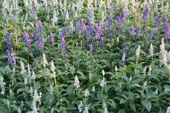 Λουλούδια Angelonia Στοκ Εικόνα