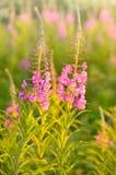 Λουλούδια angustifolium Chamerion Στοκ φωτογραφία με δικαίωμα ελεύθερης χρήσης