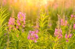Λουλούδια angustifolium Chamerion Στοκ Εικόνες