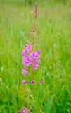 Λουλούδια angustifolium Chamerion Στοκ φωτογραφίες με δικαίωμα ελεύθερης χρήσης