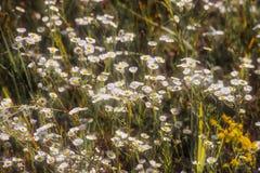Λουλούδια Annuus Erigeron Στοκ Φωτογραφία