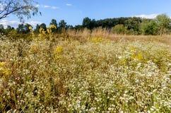 Λουλούδια Annuus Erigeron Στοκ φωτογραφίες με δικαίωμα ελεύθερης χρήσης