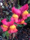 Λουλούδια Antirrhinum Στοκ Εικόνες