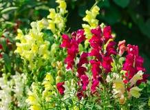 Λουλούδια Antirrhinum Στοκ εικόνες με δικαίωμα ελεύθερης χρήσης