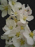 Λουλούδια Aplle Στοκ Εικόνα