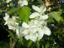 Λουλούδια Apple-δέντρων σε έναν κλάδο Στοκ Εικόνα