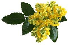 Λουλούδια aquifolium Mahonia Στοκ Εικόνα