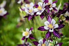 Λουλούδια Aquilegia Στοκ Εικόνες