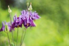 Λουλούδια Aquilegia (columbine) Στοκ Εικόνα