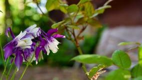 Λουλούδια Aquilegia Vulgaris πορφυρή κινηματογράφηση σε πρώτο πλάνο Aquilegia Στοκ φωτογραφία με δικαίωμα ελεύθερης χρήσης