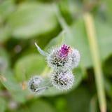 Λουλούδια Arctium στον τομέα Στοκ Φωτογραφίες