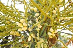 Λουλούδια areca Στοκ εικόνες με δικαίωμα ελεύθερης χρήσης
