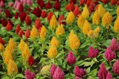 Λουλούδια argentea Celosia ή Plumped Cockscomb Στοκ Φωτογραφία