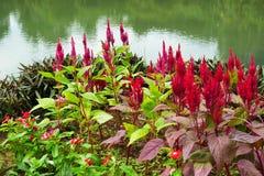Λουλούδια Argentea Celosia Στοκ Φωτογραφίες