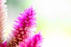 Λουλούδια Argentea Celosia Στοκ εικόνες με δικαίωμα ελεύθερης χρήσης