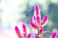 Λουλούδια Argentea Celosia Στοκ φωτογραφία με δικαίωμα ελεύθερης χρήσης
