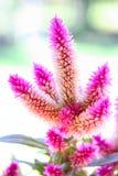 Λουλούδια Argentea Celosia Στοκ εικόνα με δικαίωμα ελεύθερης χρήσης