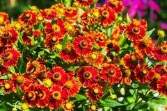 Λουλούδια aristata Gaillardia Στοκ φωτογραφία με δικαίωμα ελεύθερης χρήσης